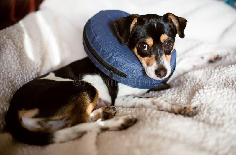 Cucciolo che indossa un cono blu di esplosione del collare di cane di vergogna immagine stock