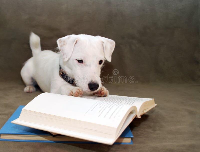 Cucciolo che legge un libro fotografie stock