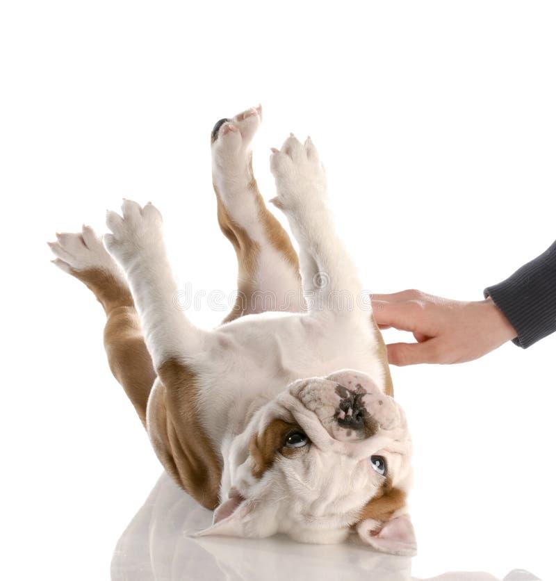 Cucciolo che ottiene uno sfregamento del tummy immagini stock