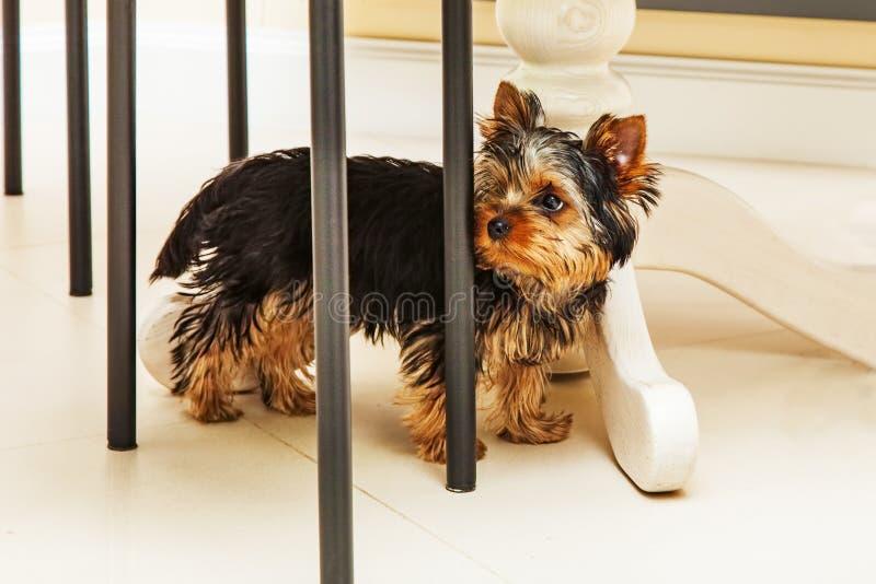 Cucciolo che si nasconde sotto la tavola fotografia stock libera da diritti