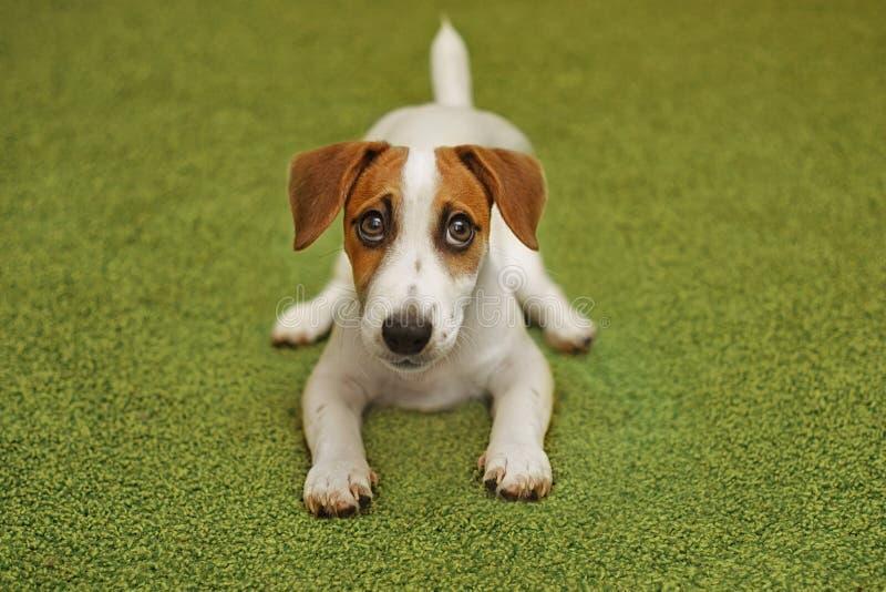 Cucciolo che si trova sul tappeto verde ed ascoltare musica sulle cuffie fotografie stock