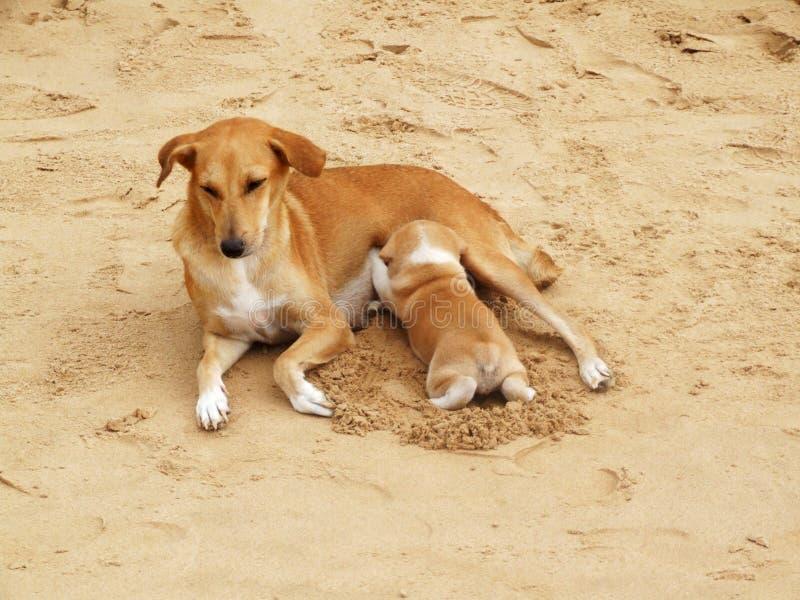 Cucciolo che succhia latte sulla spiaggia fotografia stock libera da diritti