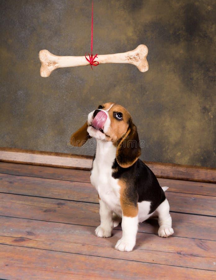 Cucciolo che vuole osso fotografie stock