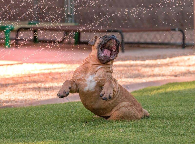 Cucciolo cieco divertente del bulldog che gioca nell'acqua fotografie stock libere da diritti