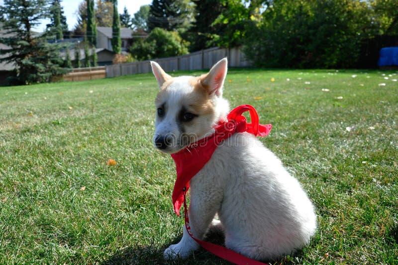 cucciolo con bandana rossa fotografia stock