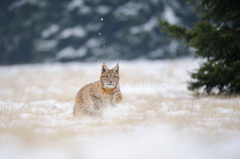 Cucciolo corrente del lince su terra nevosa nell'inverno freddo fotografia stock libera da diritti