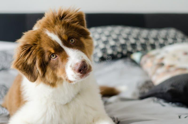 Cucciolo curioso del pastore australiano fotografia stock