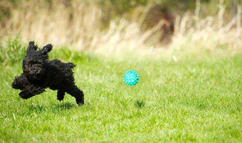 Cucciolo del barboncino di giocattolo che gioca sfera. immagine stock