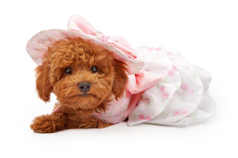 Cucciolo del barboncino in un vestito ed in un cofano da Pasqua immagini stock libere da diritti