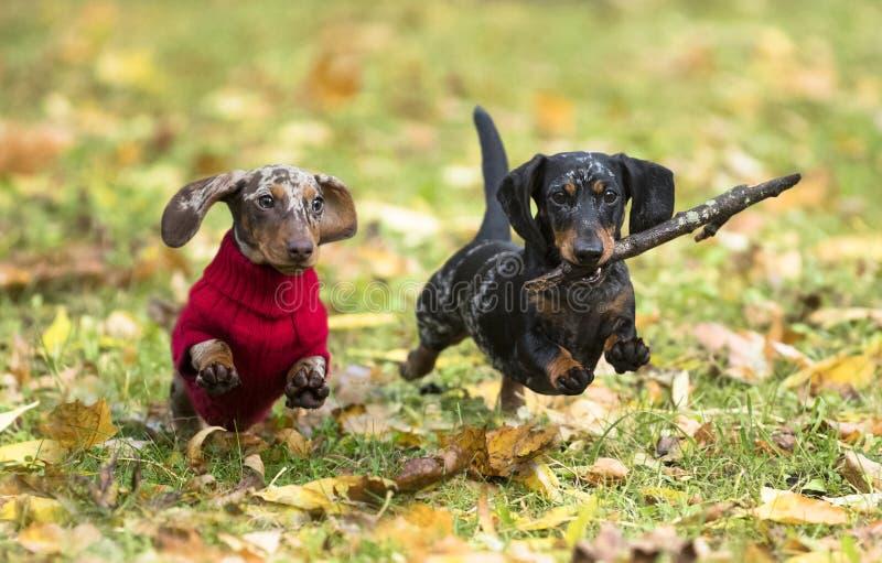 Cucciolo del bassotto tedesco fotografia stock