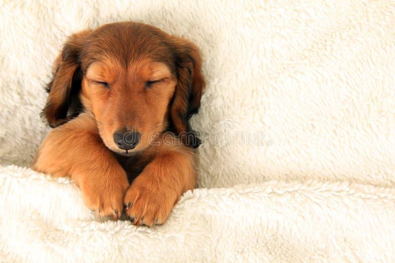 Cucciolo del bassotto tedesco fotografie stock libere da diritti