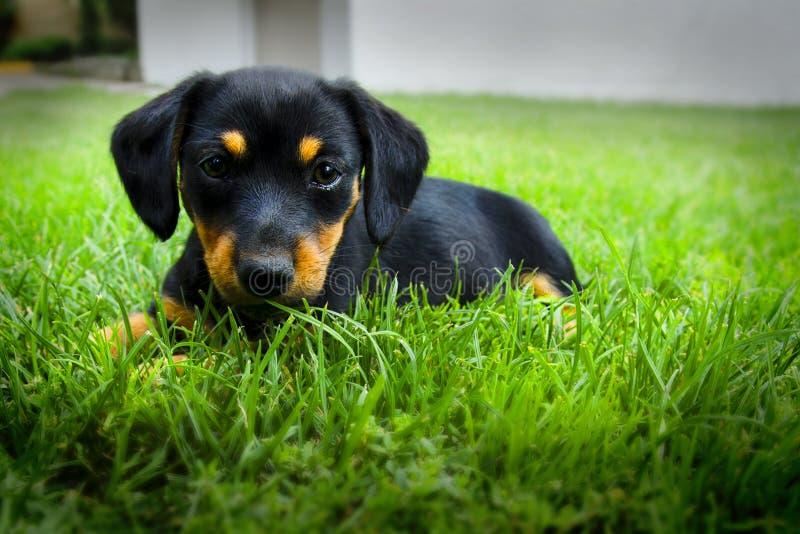 Cucciolo del bassotto tedesco fotografia stock libera da diritti