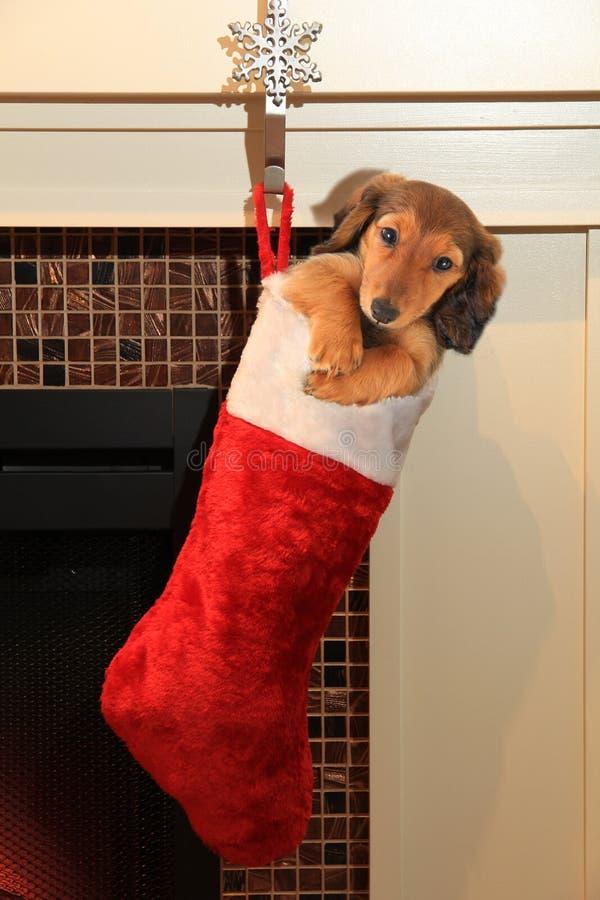 Cucciolo del bassotto tedesco nella calza di natale fotografia stock libera da diritti