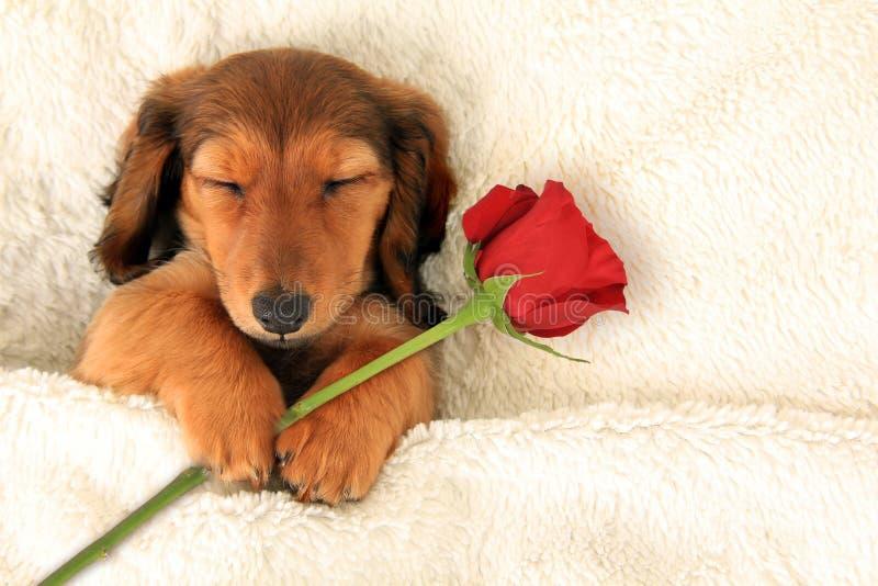 Cucciolo del biglietto di S. Valentino del bassotto tedesco fotografia stock libera da diritti