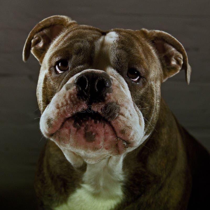 Cucciolo del bulldog con la bella espressione immagini stock libere da diritti