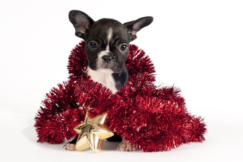 Cucciolo del bulldog francese. fotografie stock