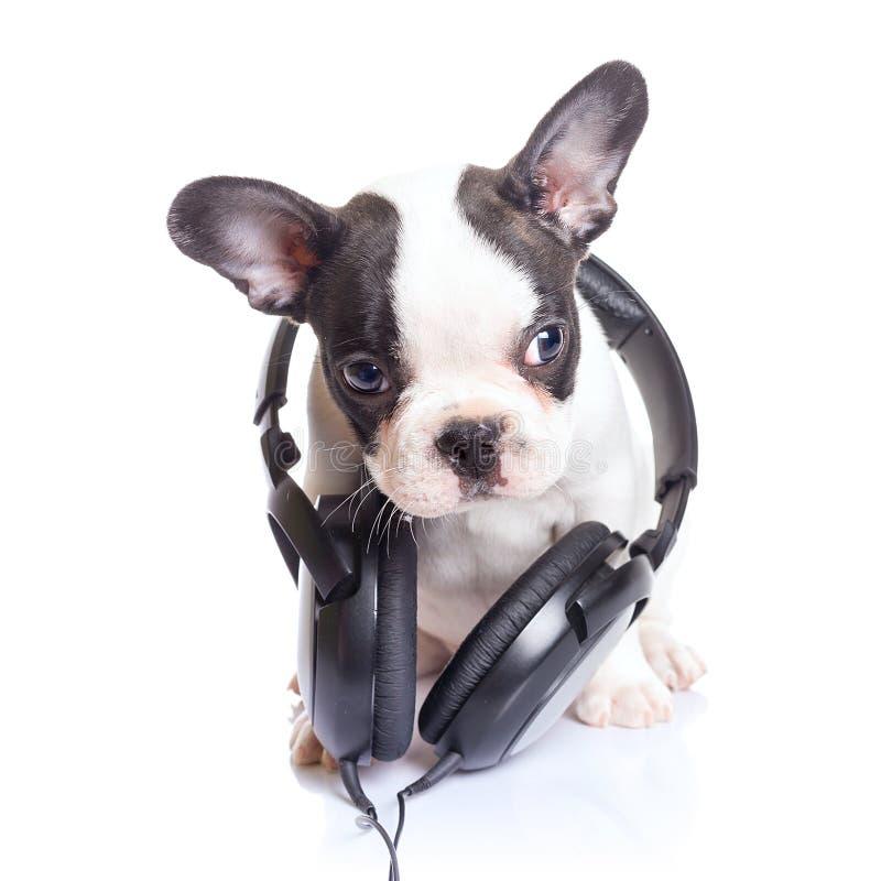 Cucciolo del bulldog francese con le cuffie fotografia stock libera da diritti