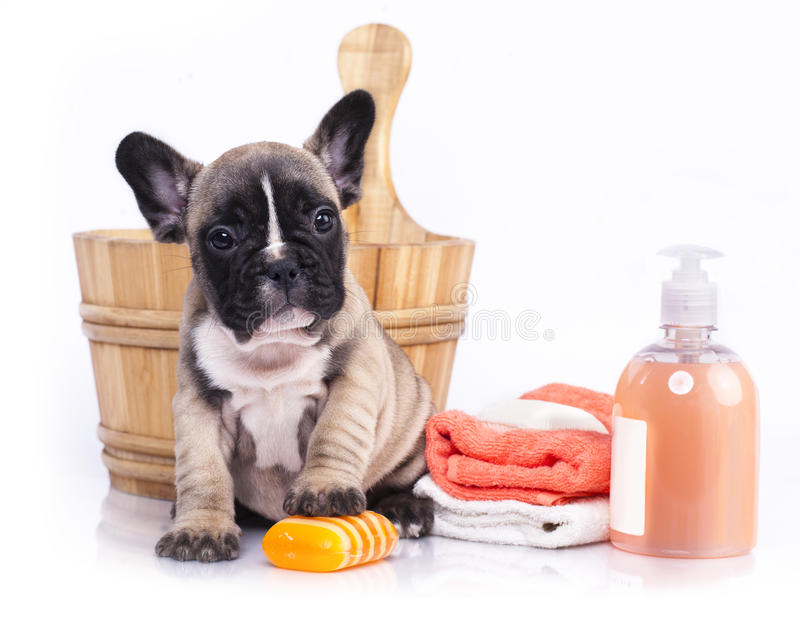 Cucciolo del bulldog francese in lavabo di legno immagine stock