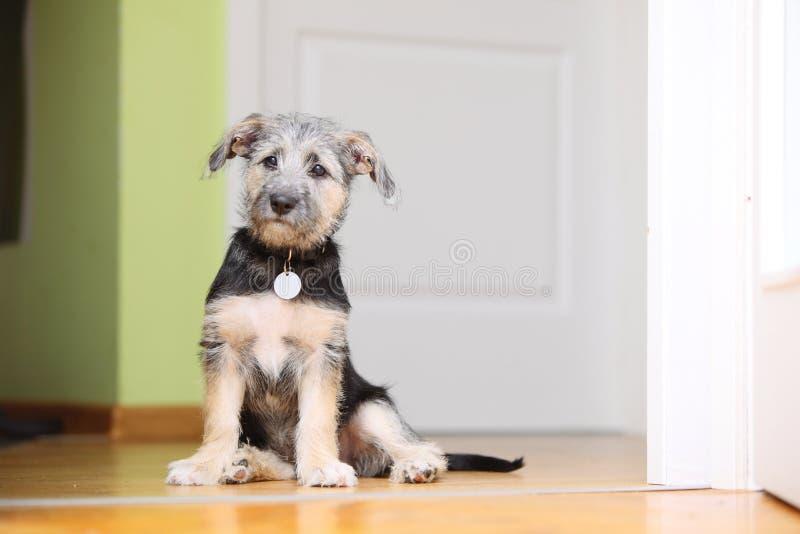 Cucciolo del cane bastardo dell'animale domestico del cane degli animali a casa che si siede sul pavimento immagini stock libere da diritti