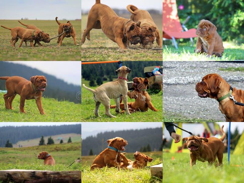 Cucciolo del cane del Bordeaux - mastino francese - raccolta della foto fotografie stock