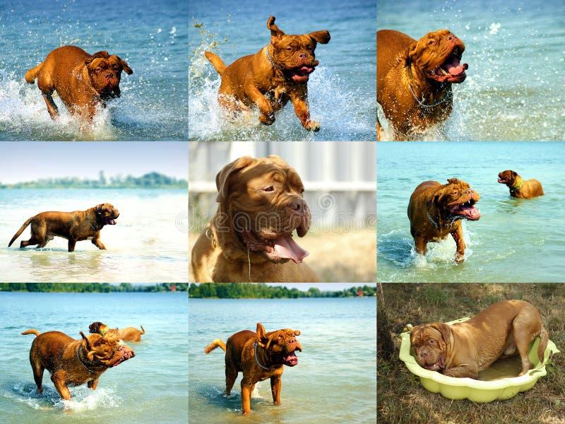 Cucciolo del cane del Bordeaux - mastino francese - raccolta della foto fotografie stock libere da diritti