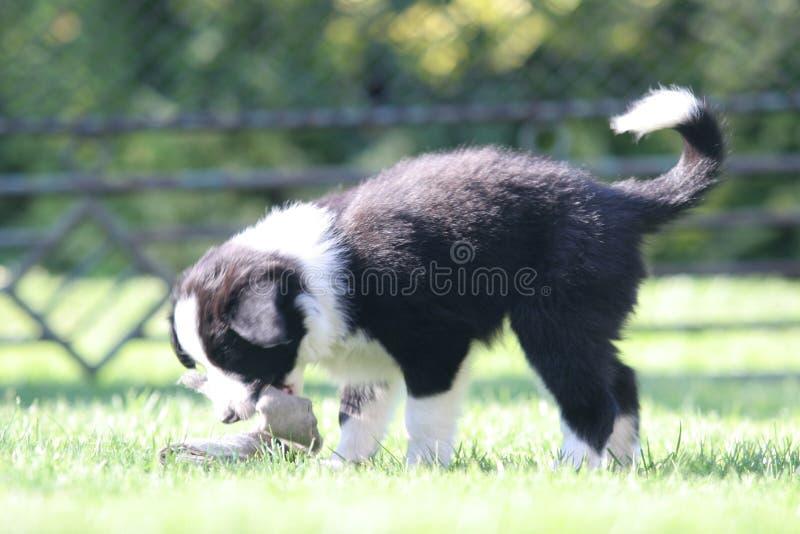 Cucciolo del cane che gioca sull'erba fotografia stock