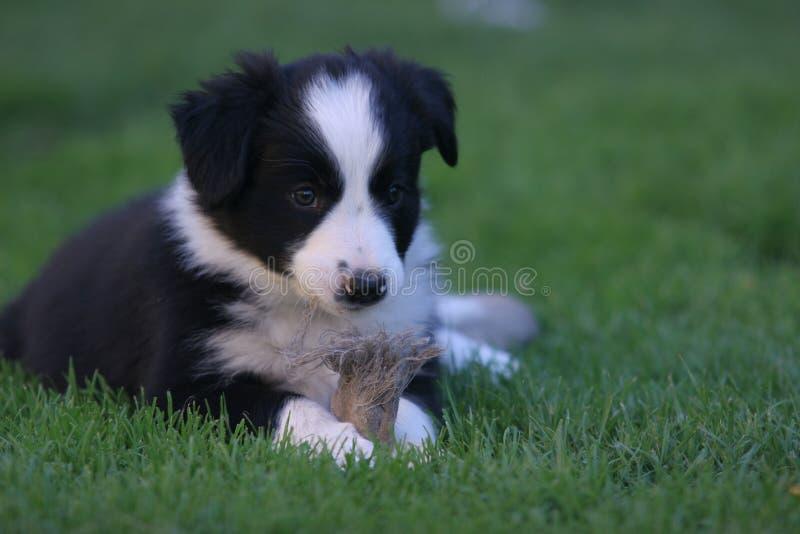 Cucciolo del cane che gioca sull'erba immagine stock