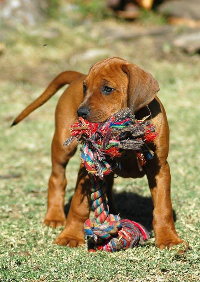 Cucciolo del cane con il giocattolo fotografie stock libere da diritti