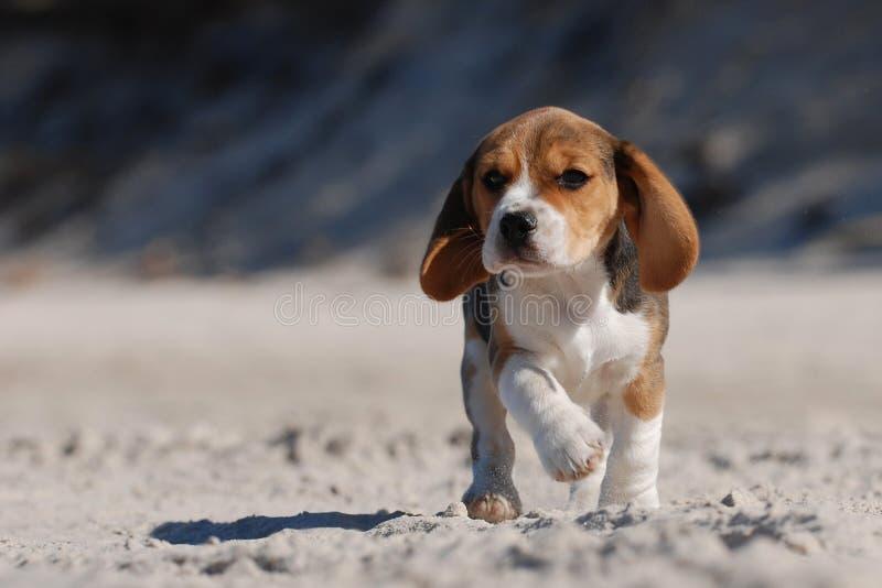Cucciolo del cane da lepre fotografie stock