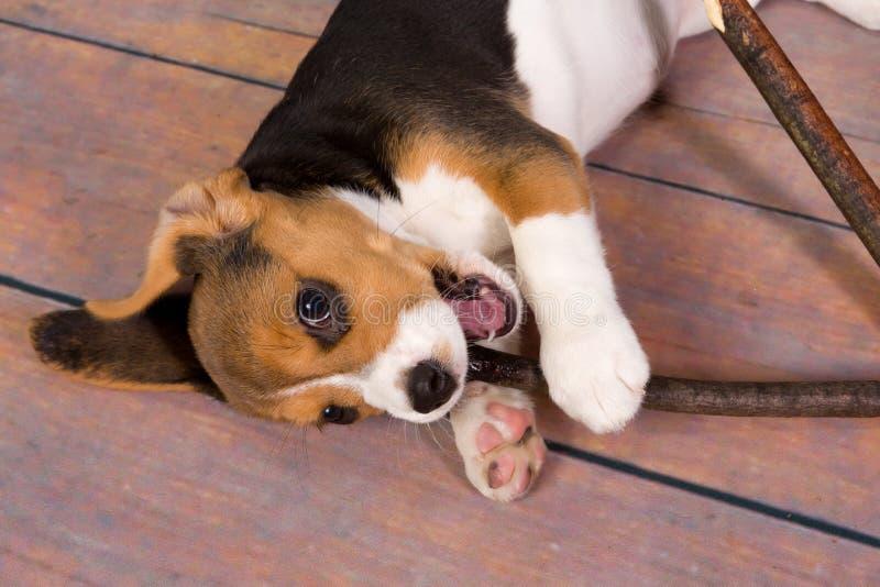 Cucciolo del cane da lepre con il bastone fotografie stock libere da diritti