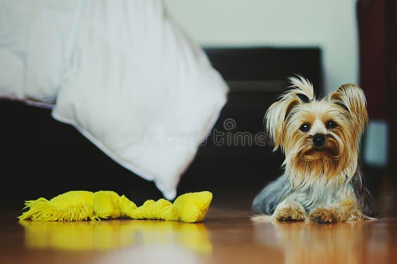 Cucciolo del cane dell'Yorkshire terrier che esamina macchina fotografica immagine stock libera da diritti