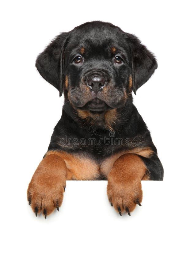 Cucciolo del cane di Rottweiler sopra l'insegna immagine stock