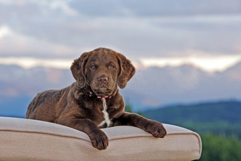 Cucciolo del Chesapeake bay retriever fuori su decckchair fotografia stock libera da diritti