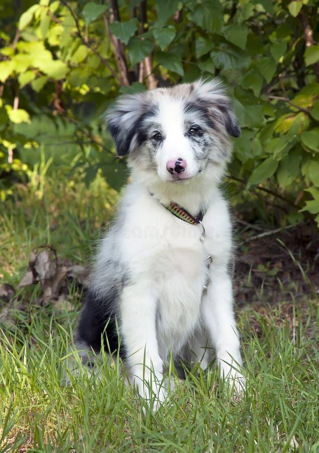 Cucciolo del collie di bordo in erba fotografie stock libere da diritti