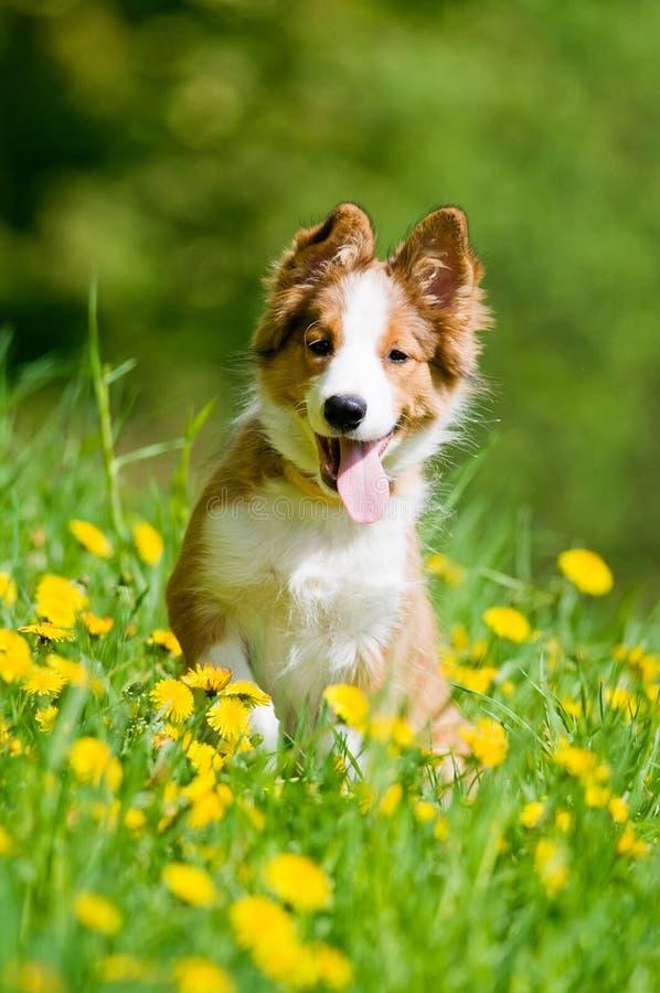 Cucciolo del collie di bordo in fiori fotografie stock