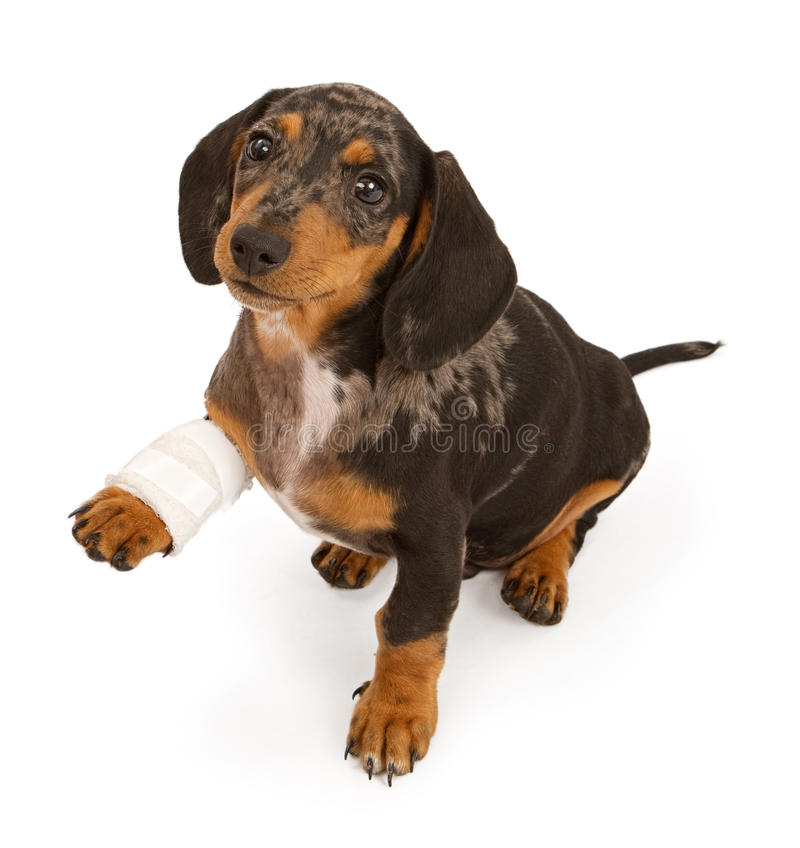 Cucciolo del Dachshund con il piedino danneggiato isolato su bianco immagini stock libere da diritti