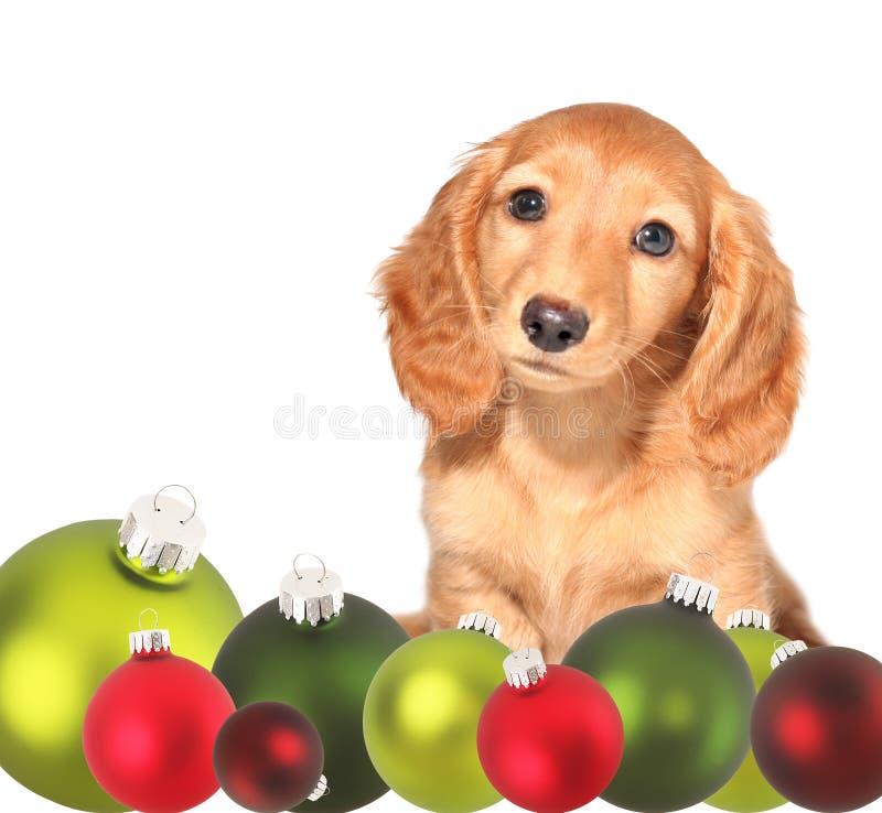 Cucciolo del dachshund di natale fotografie stock libere da diritti