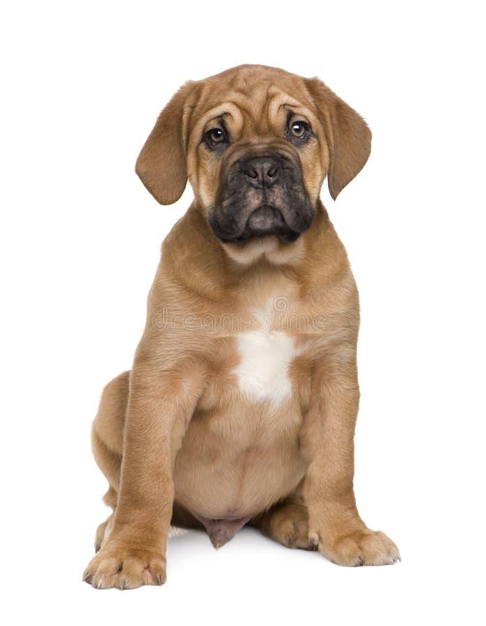 Cucciolo del Dogue de Bordeaux (2 mesi) immagine stock libera da diritti