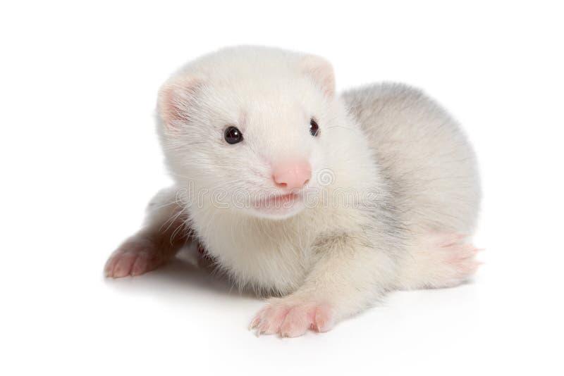 Cucciolo del furetto su fondo bianco immagine stock