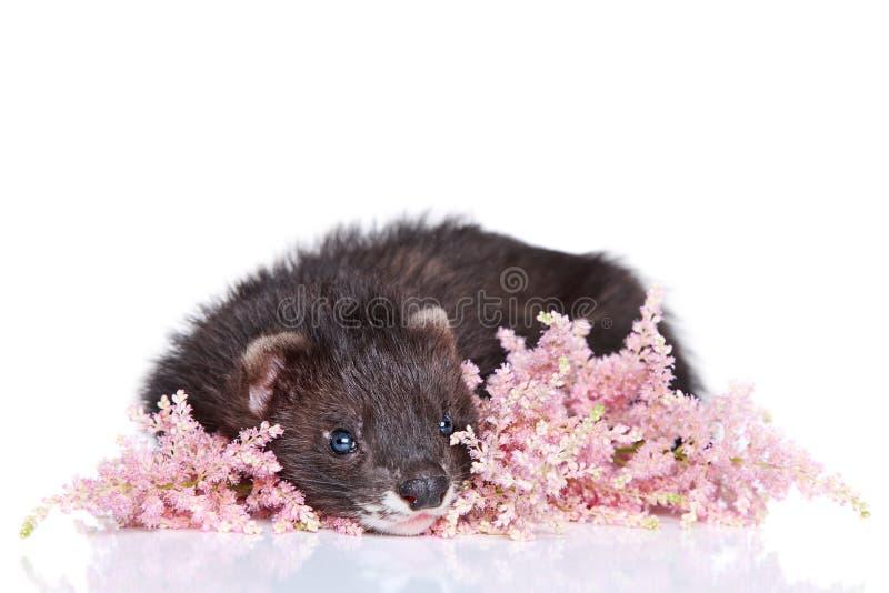 Cucciolo del furetto su fondo bianco fotografia stock