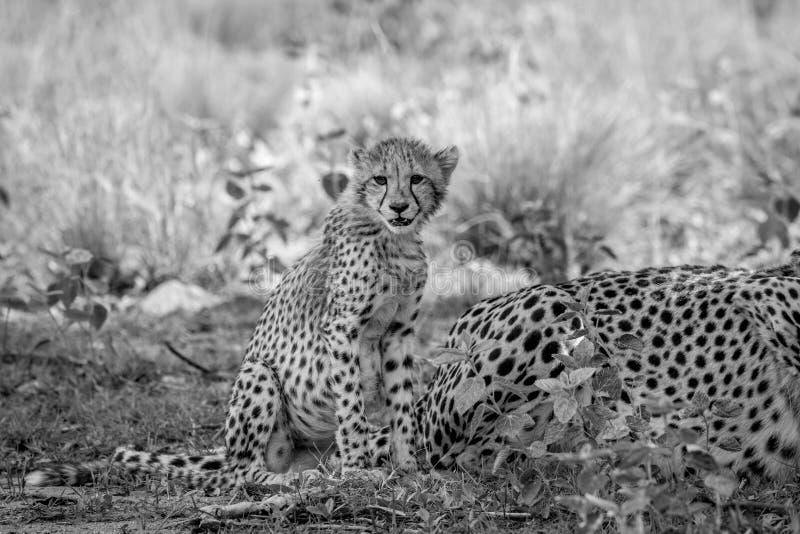 Cucciolo del ghepardo del bambino che si siede nell'erba immagini stock