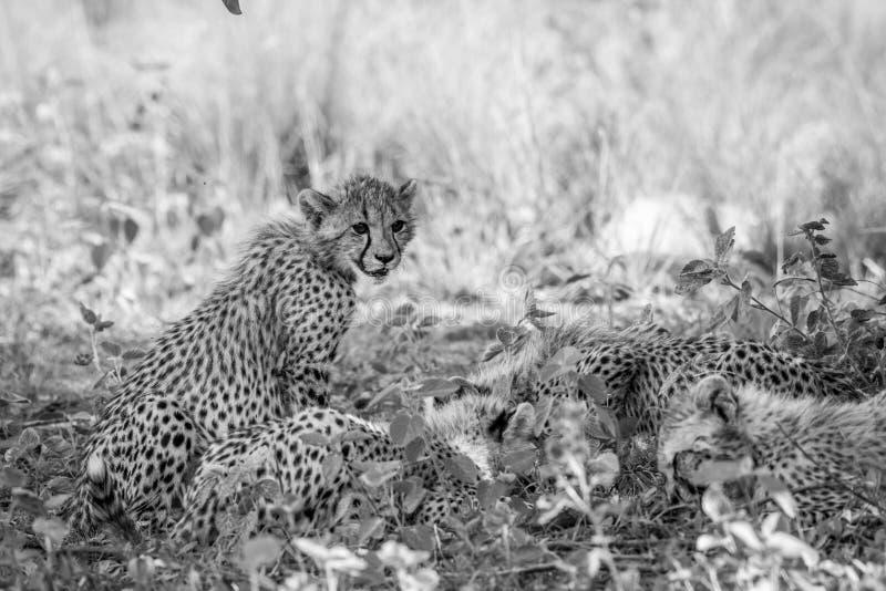 Cucciolo del ghepardo del bambino che si siede nell'erba fotografia stock libera da diritti