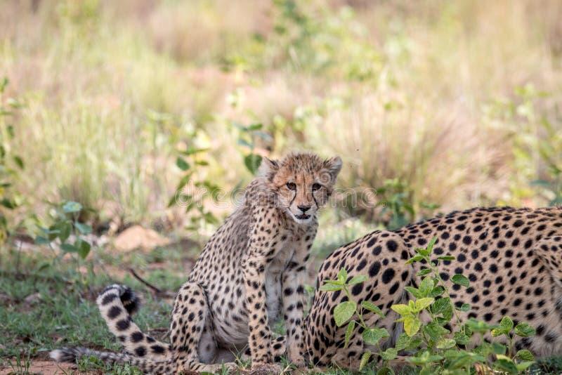 Cucciolo del ghepardo del bambino che si siede nell'erba fotografia stock