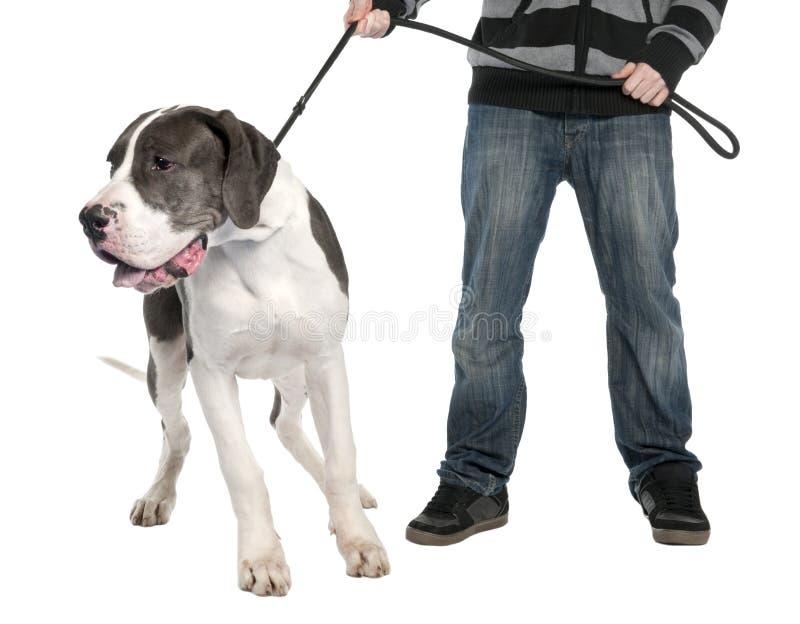 Cucciolo del grande danese su un guinzaglio (6 mesi) fotografie stock