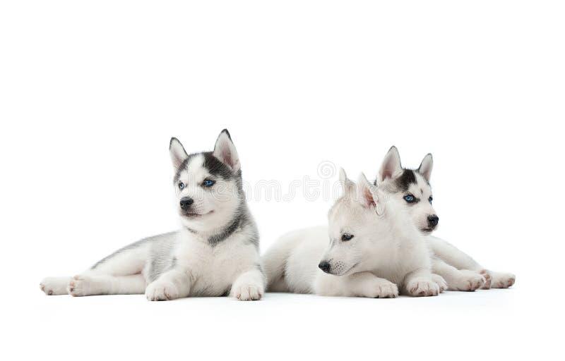 Cucciolo del husky siberiano allo studio fotografia stock libera da diritti