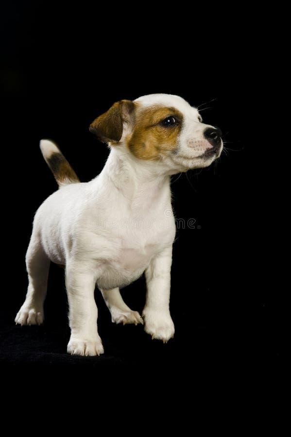 Cucciolo del Jack Russell fotografia stock