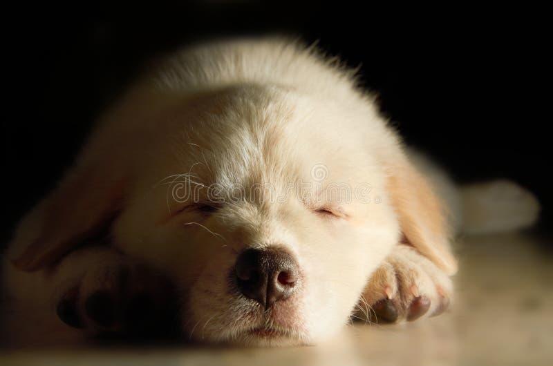 Cucciolo del Labrador fotografie stock