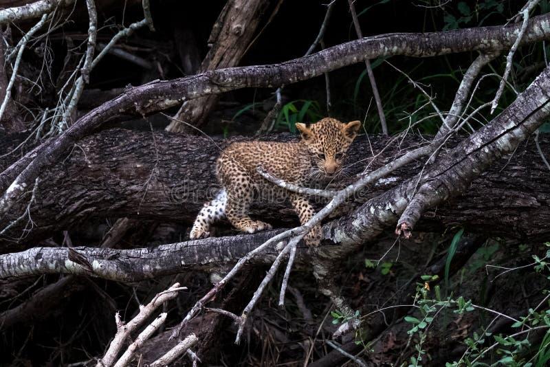 Cucciolo del leopardo che scala un albero nel parco di safari di Sabi Sands, Kruger, Sudafrica fotografie stock