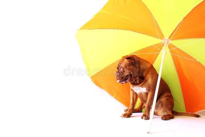 Cucciolo del mastino del Bordeaux sotto l'ombrello fotografie stock libere da diritti