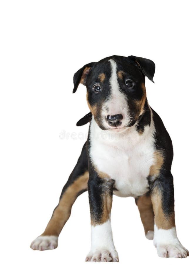 Cucciolo del nero di colore di bull terrier della razza con rosso e bianco fotografie stock